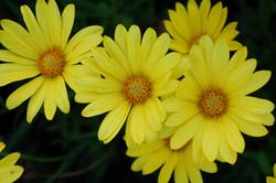 Osteospermum Voltage Yellow 004