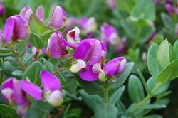 Polygala fruticosa Petite Butterflies 02