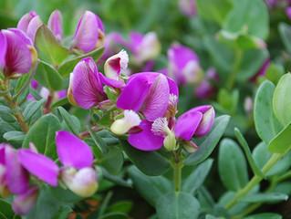 Polygala fruticosa 'Petite Butterflies' (Sweet Pea Shrub)