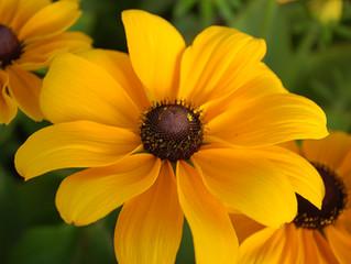 Rudbeckia hirta 'Toto Gold' & 'Toto Rustic' (Black-eyed Susan, Gloriosa Daisy, Coneflower)
