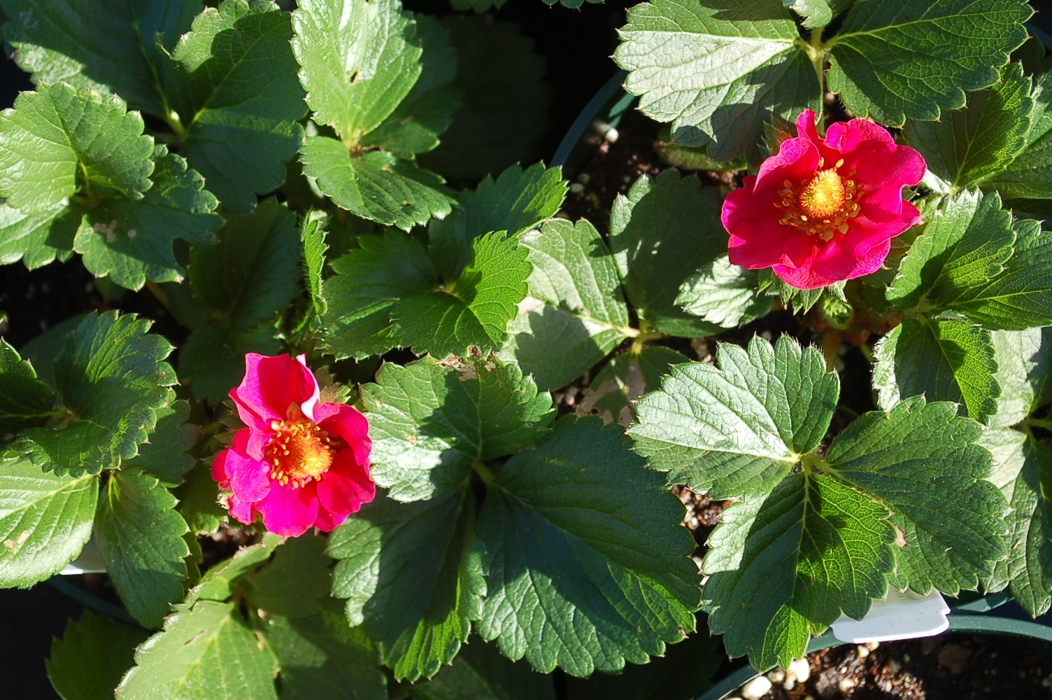 Strawberry 'Berries Galore Rose'