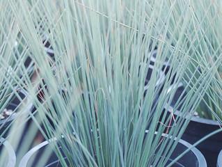 Juncus tenuis 'Blue Darts' (Common Rush)