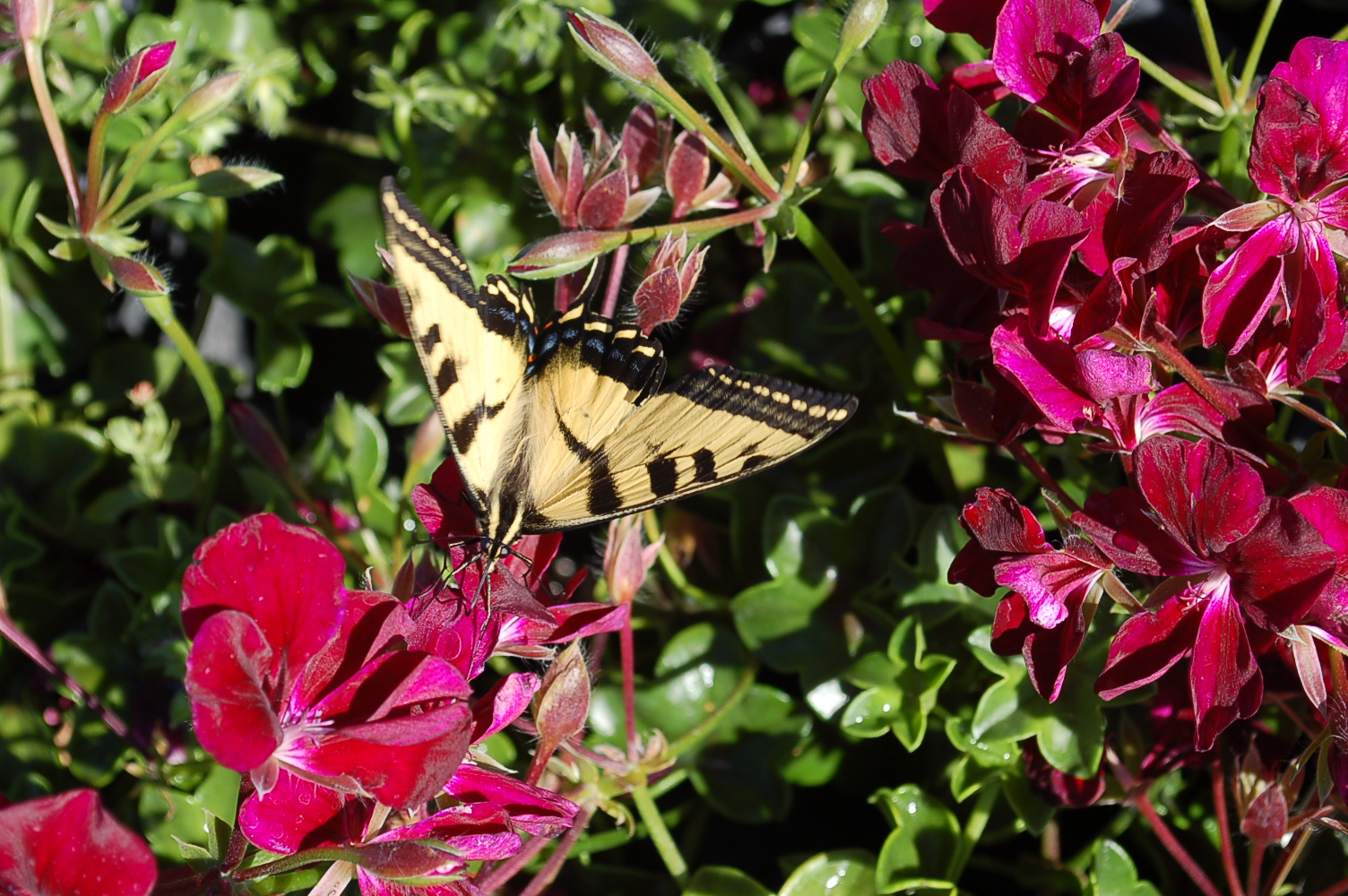 Pelargoniium with Swallowtail Butter