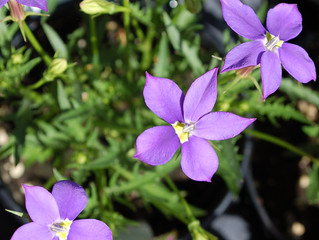 Isotoma axillaris Fizz 'n Pop™ 'Glowing Violet'