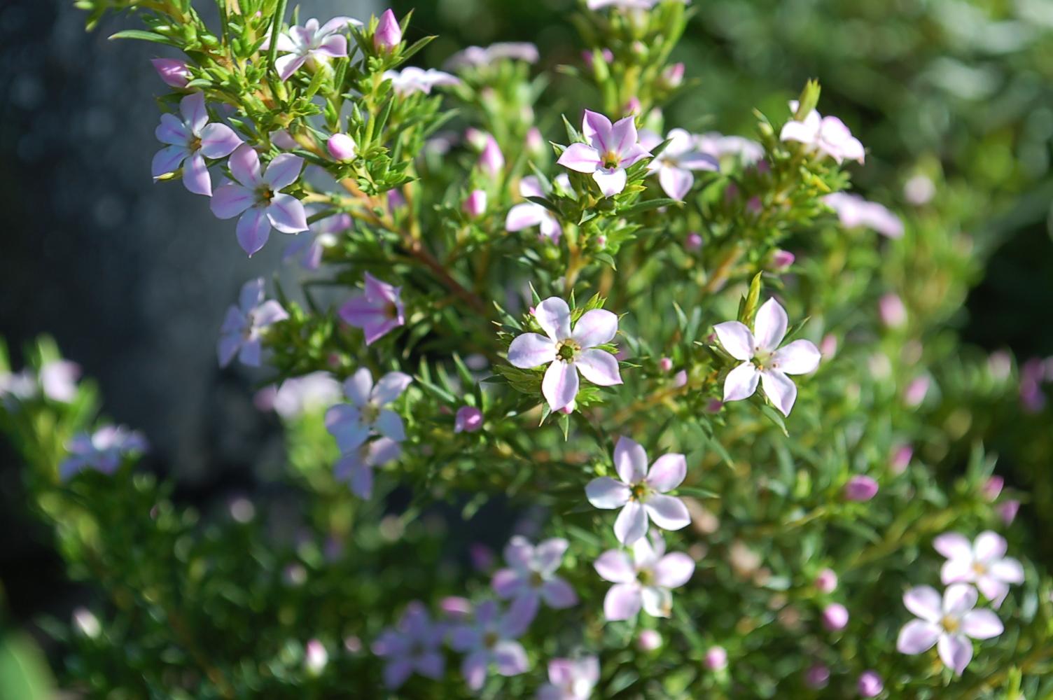 Coleonema pulchellum Pink Breah of Heave