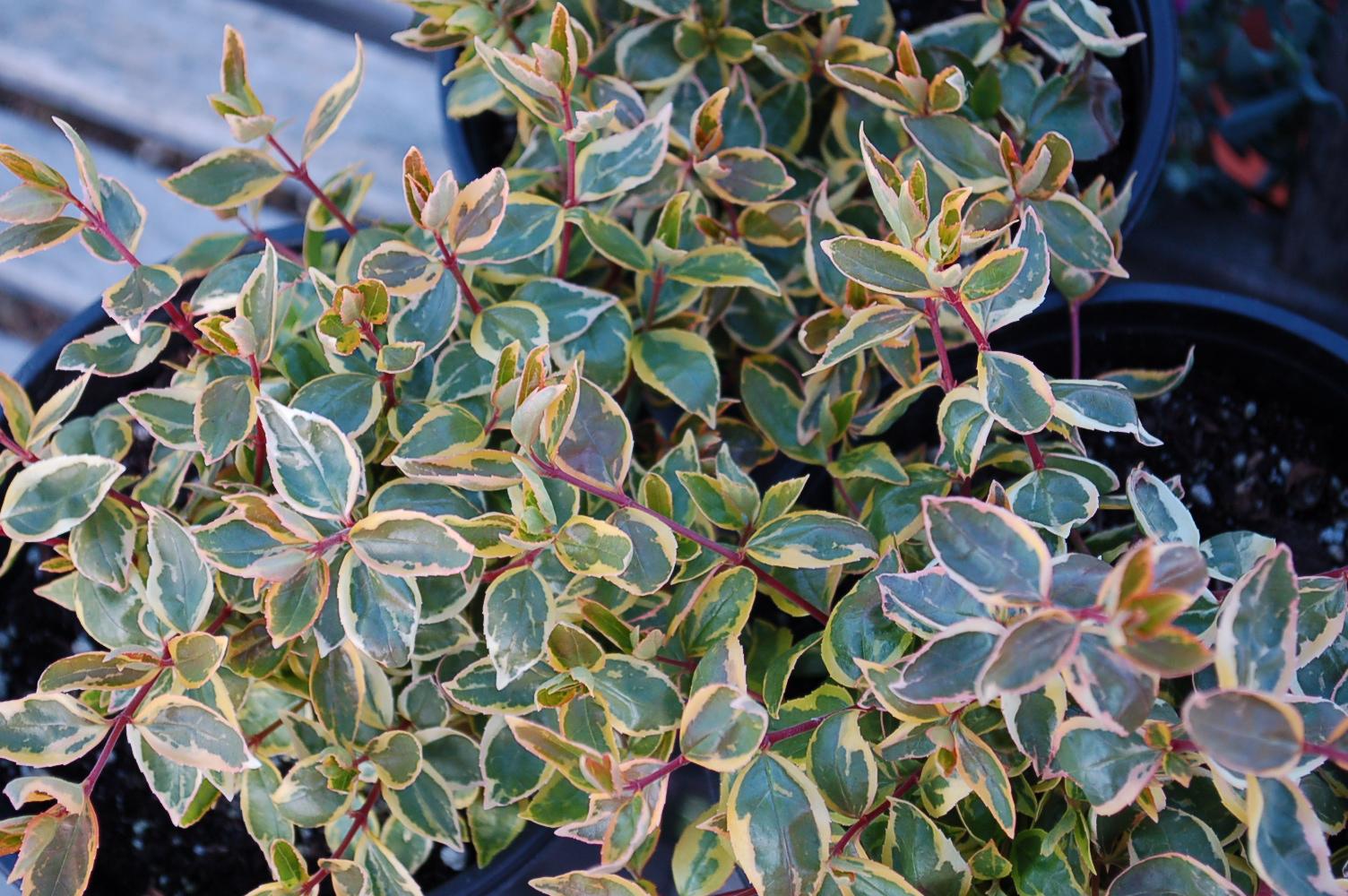 Abelia X Grandiflora Sunshine Daydream Clearwater Color