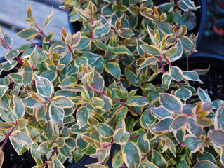 Abelia x grandiflora 'Sunshine Daydream'