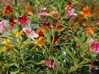 Mimulus 'Jelly Bean'™ (Sticky Monkey Flower)