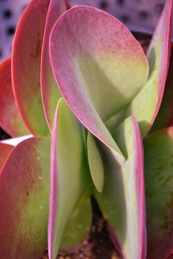 Kalanchoe thyrsiflora 'Paddle Plant'