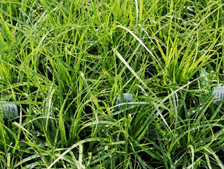 Carex praegracilis – California Field Sedge, Clustered Field Sedge