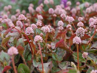 Polygonum capitatum 'Pink Pin Heads'