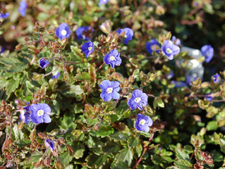 Veronica umbrosa 'Georgia Blue' (Creeping Speedwell)