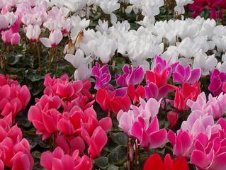Cyclamen persicum- Family Primulaceae