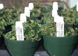 Origanum vulgare hirtum 'Greek Oregano' & Origanum majoricum 'Italian Oregano'