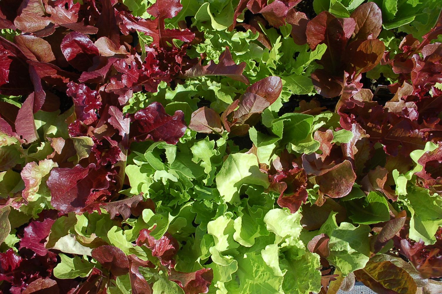 Lettuce Gourmet Leaf Blend 001