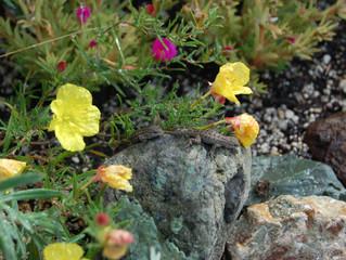 Calylophus drummondianus (Texas Primrose, Square Bud Primrose)