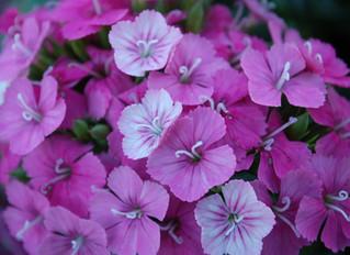 Dianthus interspecific 'Jolt™ Pink Magic'