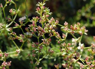 Eriogonum fasciculatum 'Warriner Lytle' (California Buckwheat)