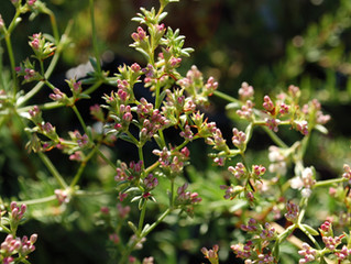 Eriogonum fasciculatum 'Warriner Lytle' (California Buckwheat)