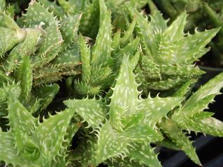 Aloe zanzibarica, Aloe juvenna  (Tiger Tooth Aloe)