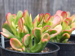Crassula ovata 'Hobbit Tricolor'