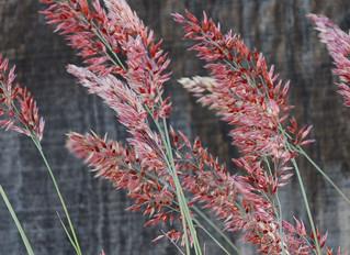 Melinus nerviglumis 'Pink Champagne' (Ruby Grass)