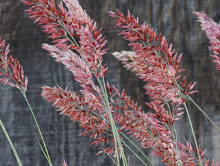 Melinus nerviglumis 'Pink Champagne' (Ruby Grass)