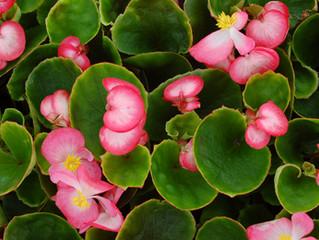 Begonia semperflorensaka 'Wax Begonia', 'Bedding Begonia', 'Fibrous Begonia'