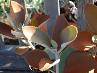 Kalanchoe orgyalis 'Copper Spoons' (Copper Kalanchoe)