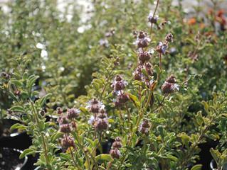 Salvia dorrii 'Desert Purple Sage' (Desert Sage, Purple Sage, Great Basin Blue Sage)