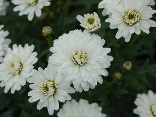 Argyranthemum frutescens 'Crazy Daisy Summer Song White' (Chrysanthemum frutescens)