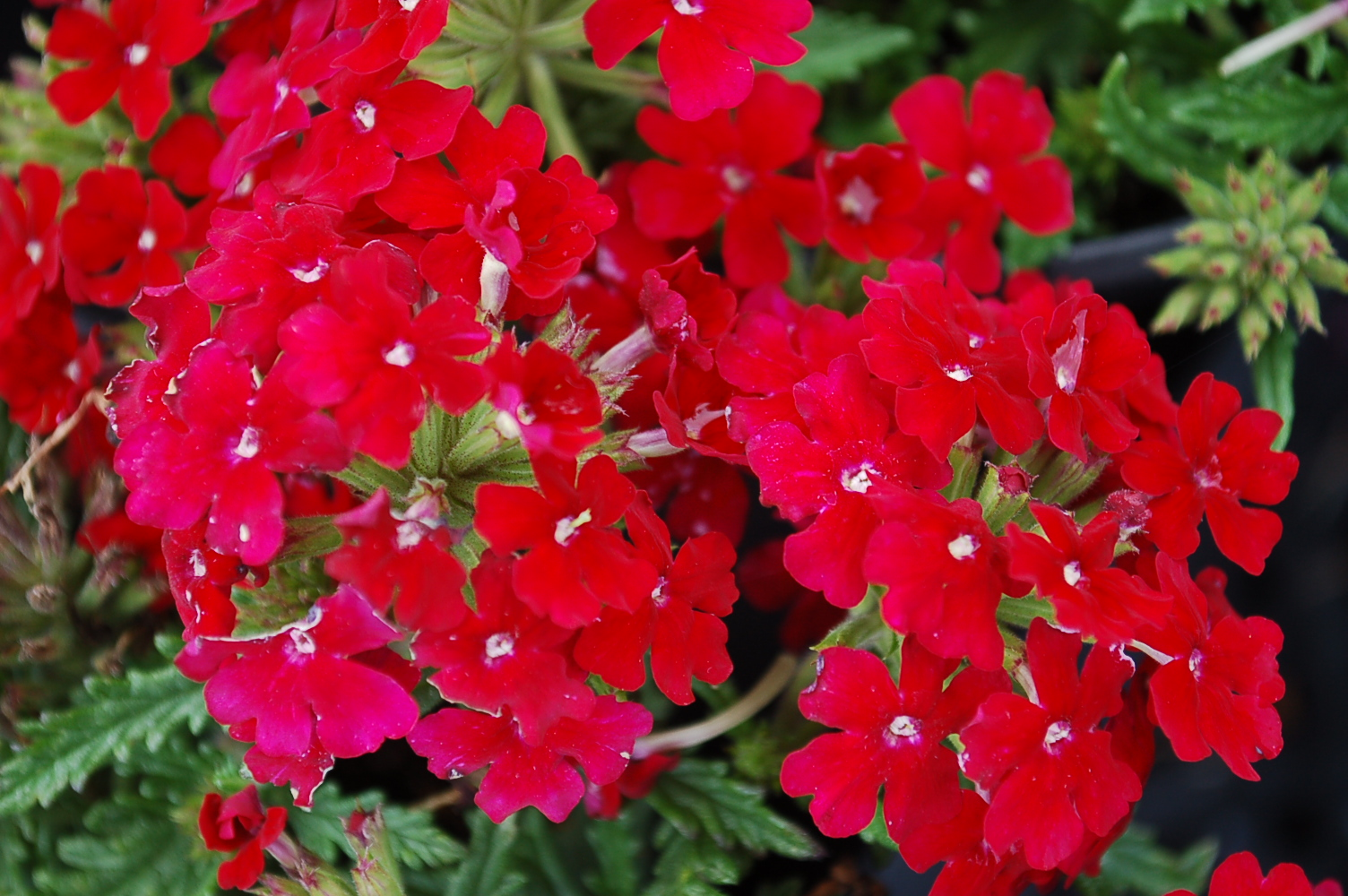 VERBENA 'VEPITA FIRE RED'