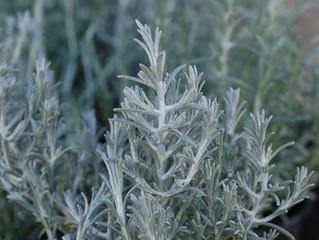 Calocephalus brownii 'Bed Head' (Silver Bush) (Leucophyta brownii)