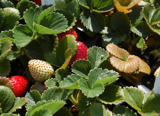 Strawberry 'Sequoia' Fragaria ananassa