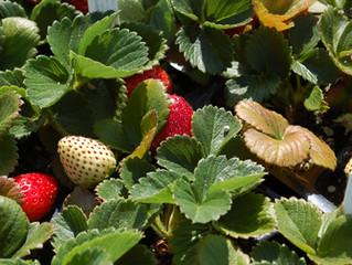 Strawberry 'Sequoia' Fragaria ananassa