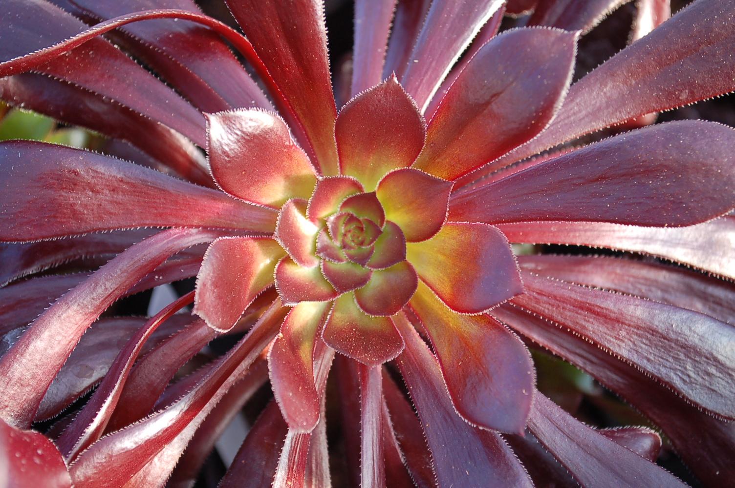 Aeonium arboreum Zwartkop 009