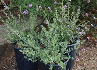 Westringia fruticosa x eremicola 'Wynyabbie Gem'