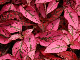 Hypoestes phyllostachya 'Splash Select' (Polka Dot Plant)
