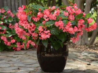 Begonia interspecific 'Megawatt'
