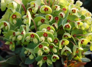 Euphorbia x martini 'Tiny Tim' (Spurge)