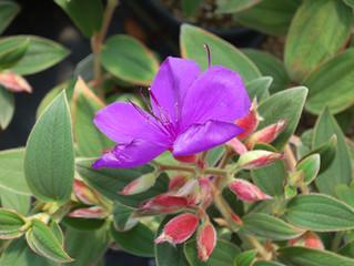 Tibouchina urvilleana 'Princess Flower'