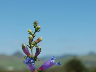 Penstemon heterophyllus 'Electric Blue' (Beardtongue)