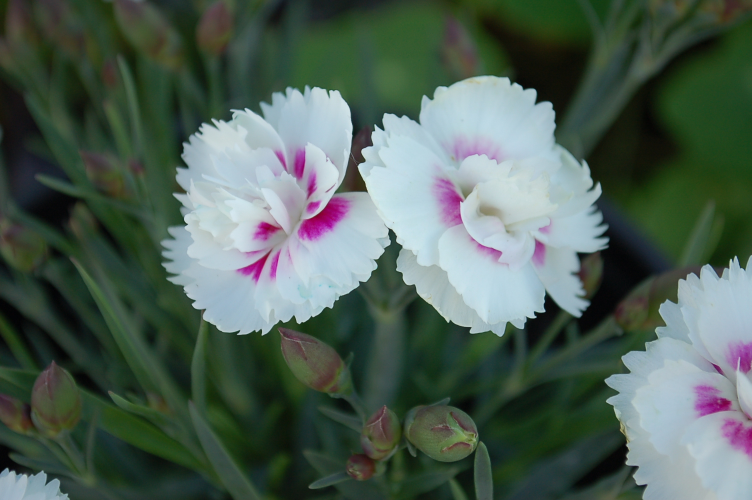 Dianthus interspecific Everlast series 0