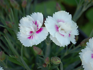 Dianthus interspecific 'Everlast'™ series.
