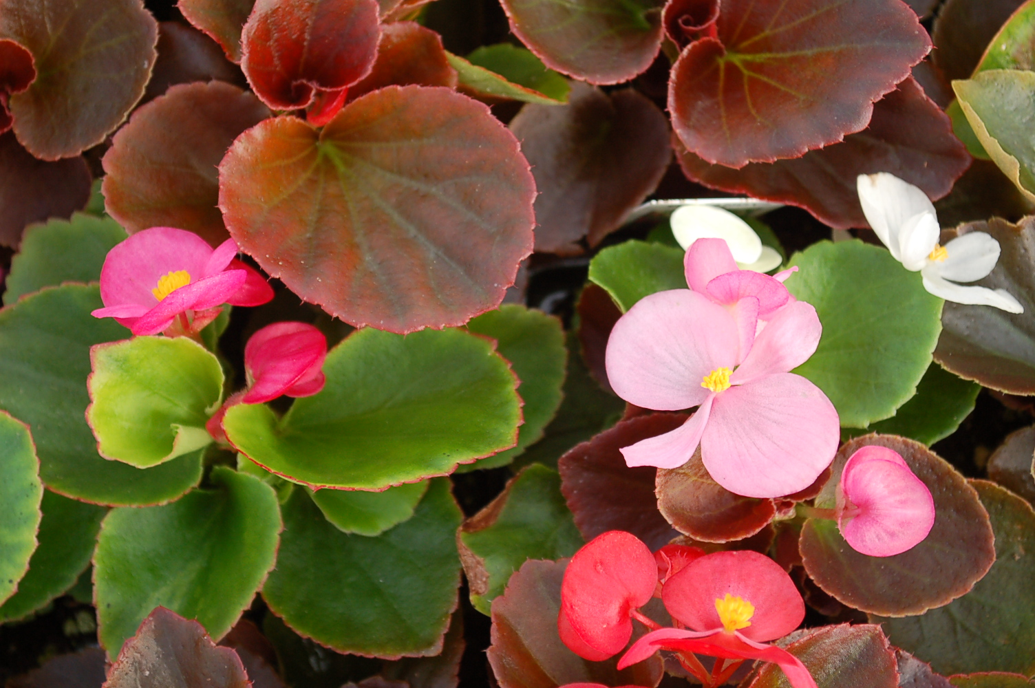 Begonia 'Organdy Mix'