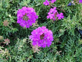 Verbena 'Tapien® Blue Violet'