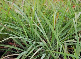 Cymbopogon citratus 'Lemon Grass'