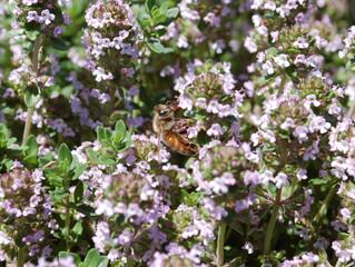 Thymus vulgaris 'Common Thyme' & 'English Thyme', Thymus x citriodorus 'Lemon Thyme'