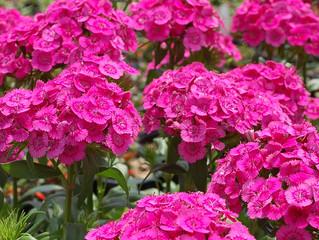 Dianthus barbatus interspecific 'Jolt™ Pink'