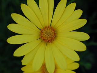 Osteospermum 'Voltage™ Yellow' (Osteospermum ecklonis 'Balvoyelo')